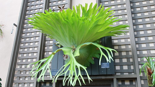 170919 042 San Diego Balboa Park - Botanical Building, Platycerium superbum, a magnificent Staghorn Fern species from Australia   by cultivar413