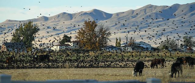 171022-blackbirds-birds-cattle-field.jpg