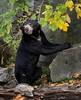 Sun bear (Helarctos malayanus) by JirikD