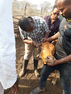 A trainee admisnisters the ECF-ITM vaccine to a cow in Mbeya, Tanzania | by International Livestock Research Institute