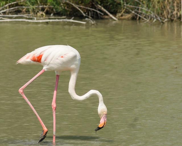 Flamingo_3880_France_06-15-17_resized