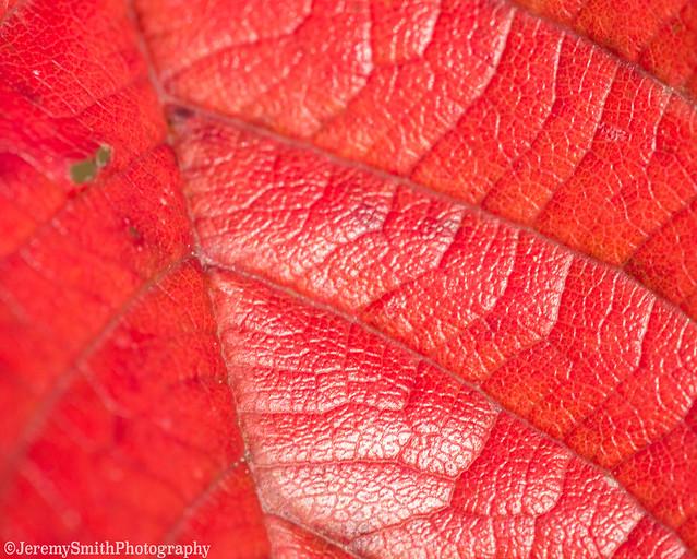 Autumn leaf, (Explored) Beechwoods Nature reserve, Cambridge, UK