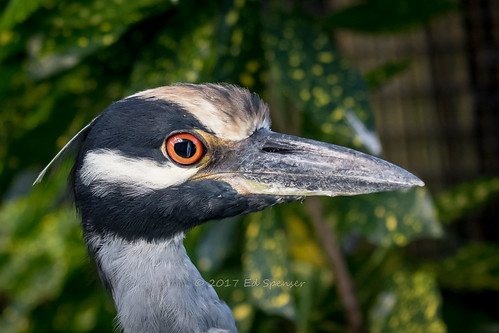 Portrait of a very friendly Yellow-crowned night heron | by spensered