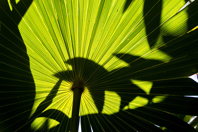 Caribbean sun shining through a palm leaf in Belize