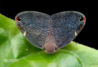 Moth-like planthopper (Ricaniidae) - DSC_9624