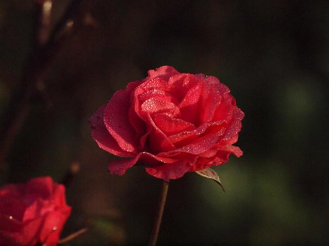 rosiger Morgen 003