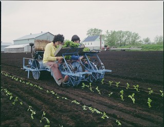 Women operating a celery transplanting machine