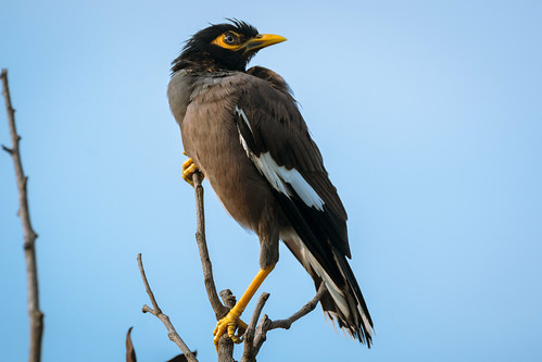 Common myna | by Ravindra R