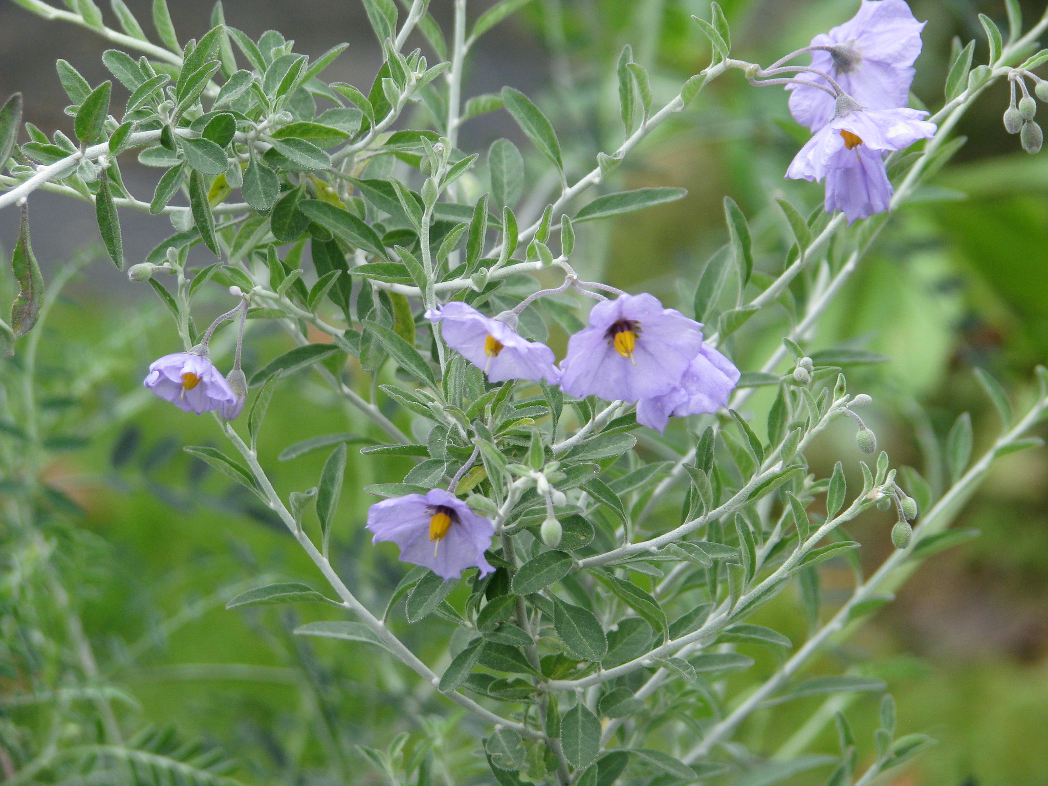 Solanum umbelliferum incanum