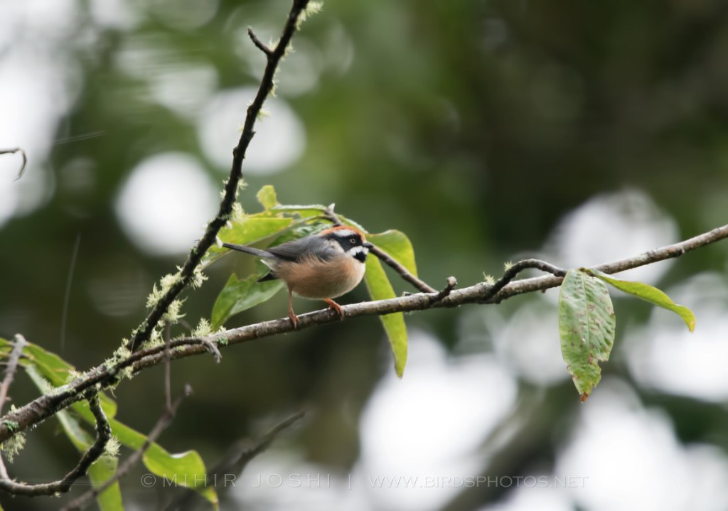Black-throated Tit [Mito Gorginegro]