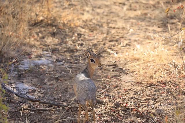 Male Kirk's Dik-Dik Etosha National Park Namibia Africa