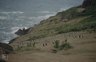 Puffin Town. 12 July 1961. Bent-fescue. View to southwest.