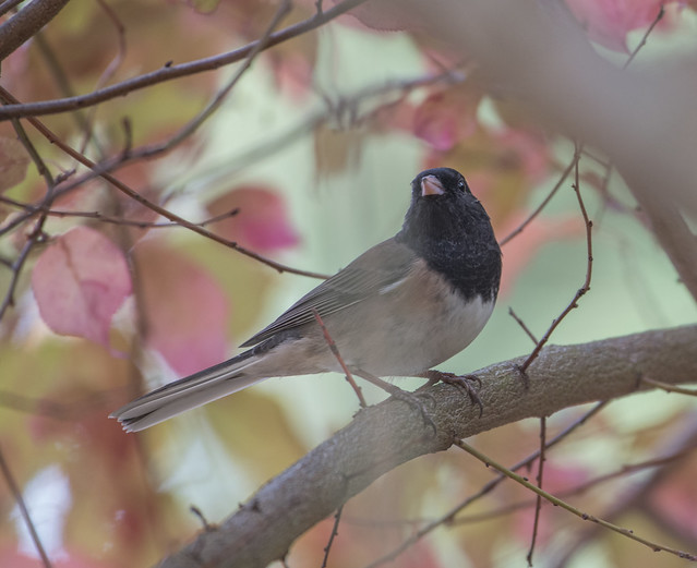 Apple junco