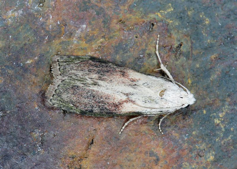 62.001 BF1428 Bee Moth - Aphomia sociella