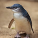 Image: The Little Penguin