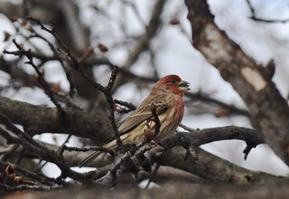 Purple finch, eating seed, tree view | by Tatiana12