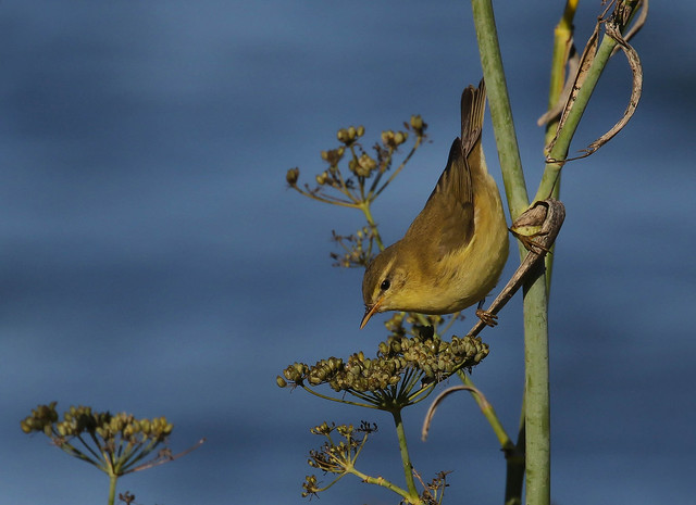 Felosa-musical / Mosquitero musical / Willow Warbler
