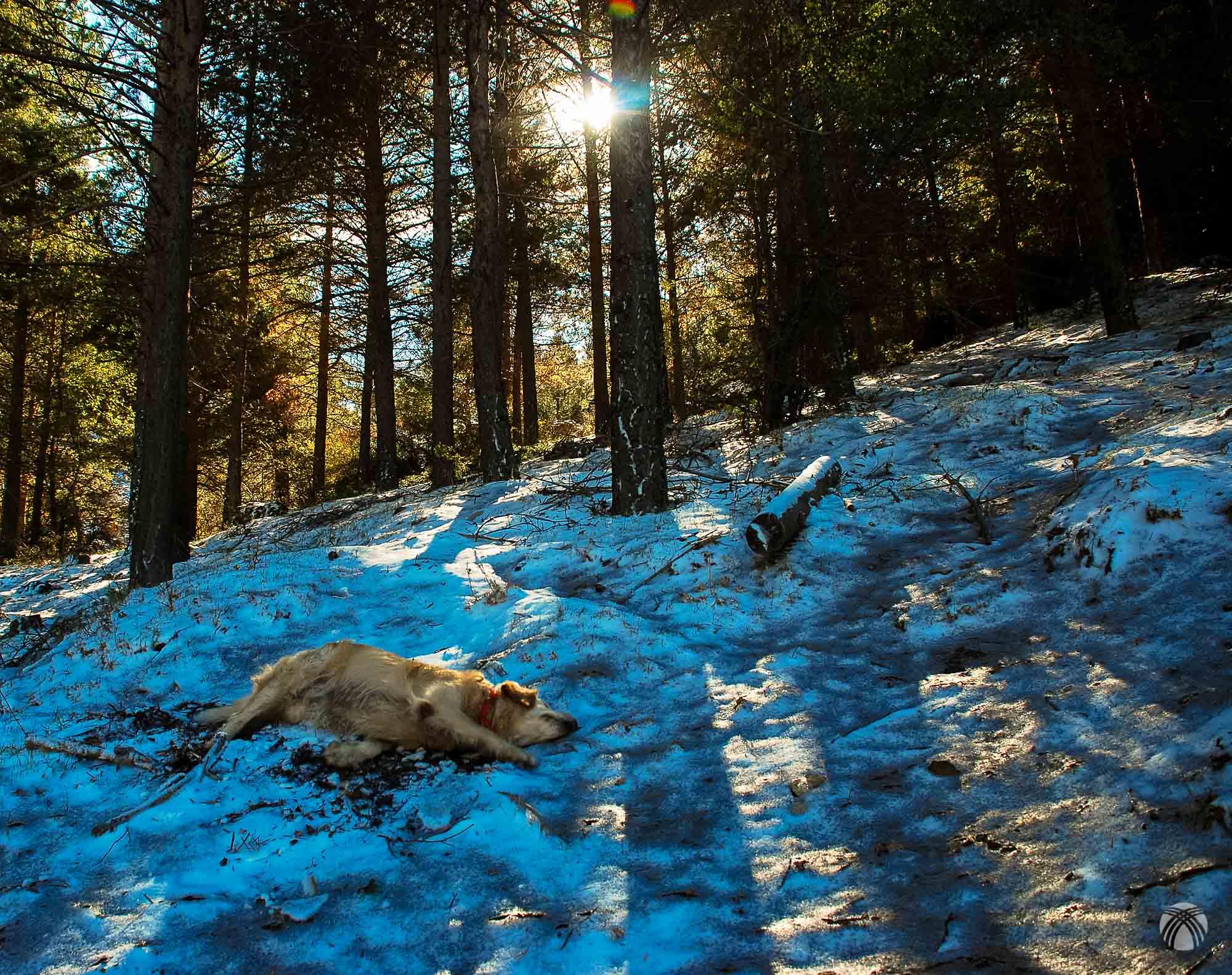Bajo las coníferas perdura el manto de nieve