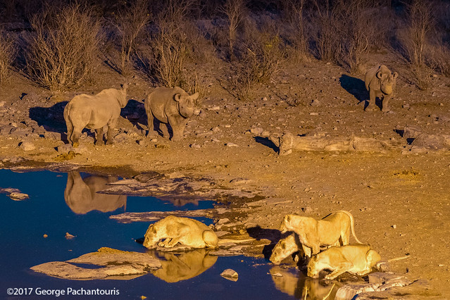 Rhinos and lions in the waterhole, Halali restcamp, Etosh NP