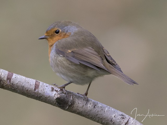 Robin ( a passing glance ) 04/10/17