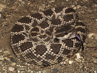Southern Pacific Rattlesnake (Crotalus oreganus helleri) | by NicholasHess