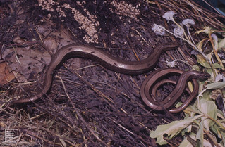 2 slow worms. Ants nest with pupae. Gwaelod. July 1988
