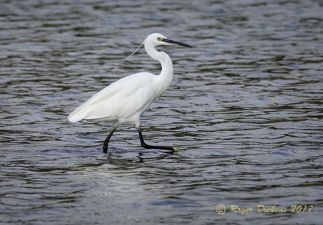Little Egret 28