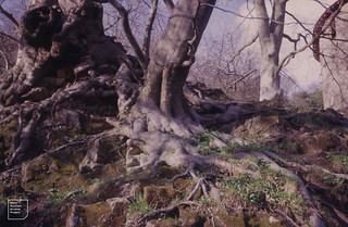 Beech roots, Ramsons and moss. Castell Coch. 18/4/1963