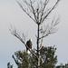 Flickr photo 'Haliaeetus leucocephalus (Bald Eagle)' by: Arthur Chapman.