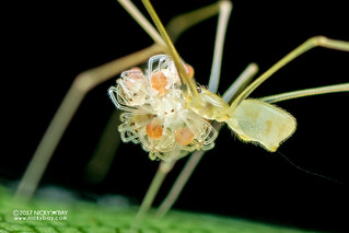 Daddy-long-legs spider (Belisana sp.) - DSC_0941b