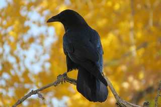 Common Raven and fall Rio Grande Cottonwoods again | by Jerry Friedman