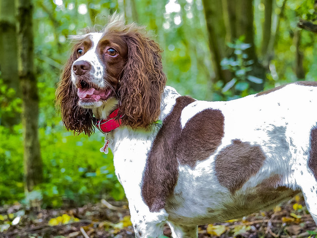 Dog Pets Domestic Animals One Animal Mammal Animal Themes Outdoors No People Day Pet Collar Panting Protruding Sticking Out Tongue Portrait Nature Tree Springers Springer Spaniels English Springer Spaniel Poppy