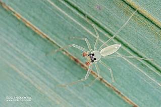 Jumping spider (Onomastus danum) - DSC_9883