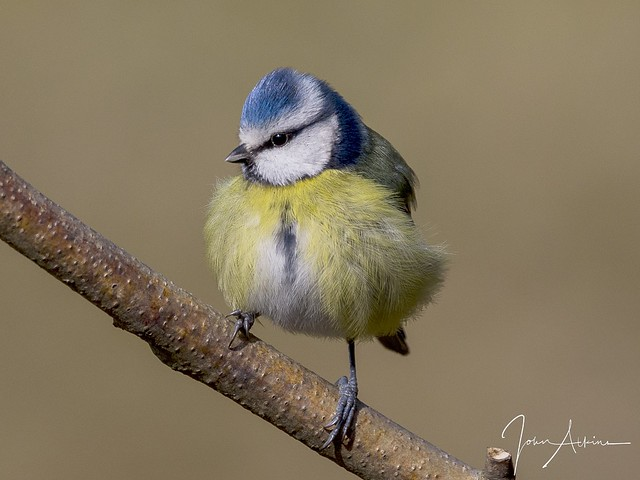 Blue Tit ( feathers all fluffed up )