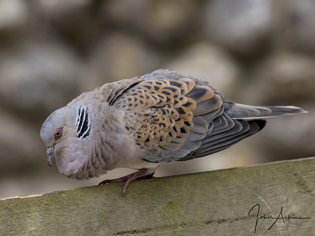 Turtle Dove ( male ) at Frampton marsh 04/07/17