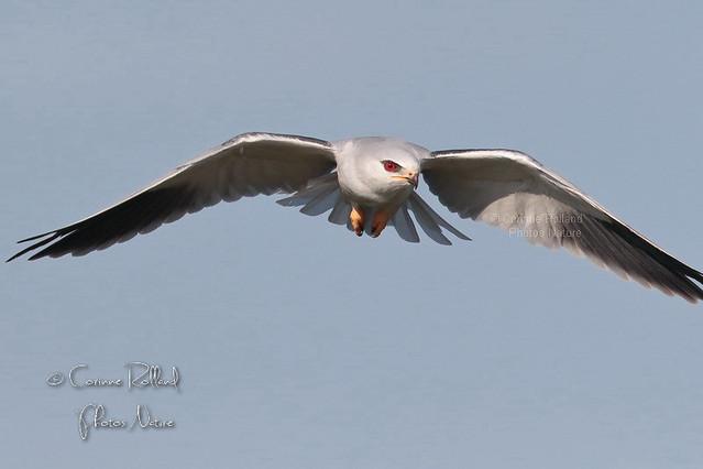 Élanion blanc, Elanus caeruleus - Black-winged Kite #1368