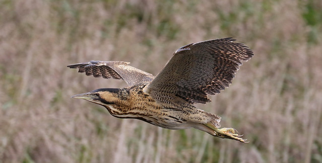 Bittern In Flight----In Explore 08-10-2017