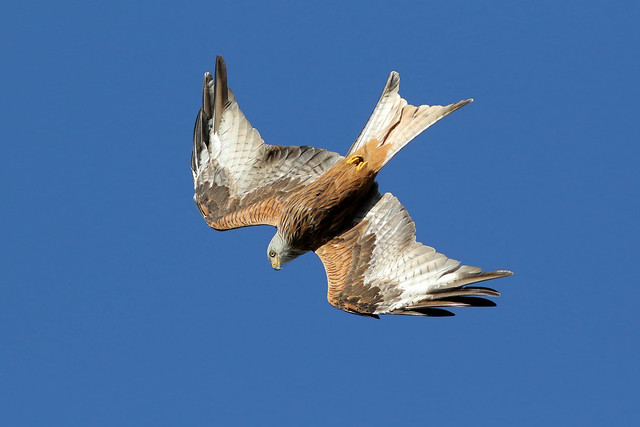 Red Kite West Yorkshire 9P1A0101