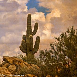 Golden Hour on a Saguaro Cactus