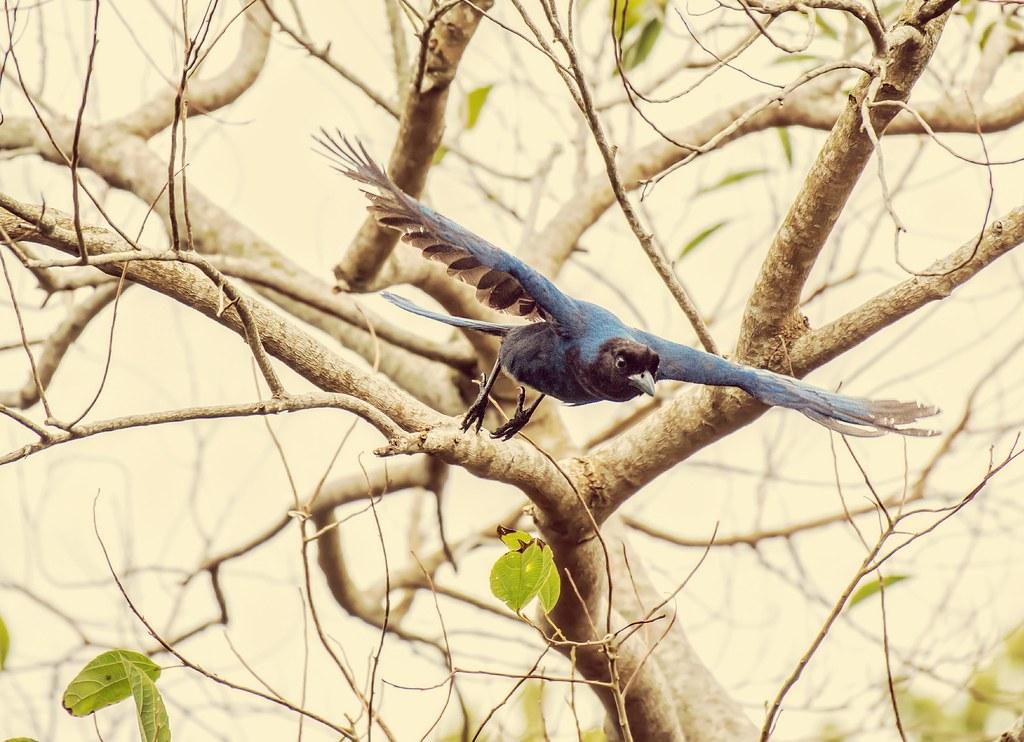 Gralha-azul, Azure Jay (Cyanocorax caeruleus.)
