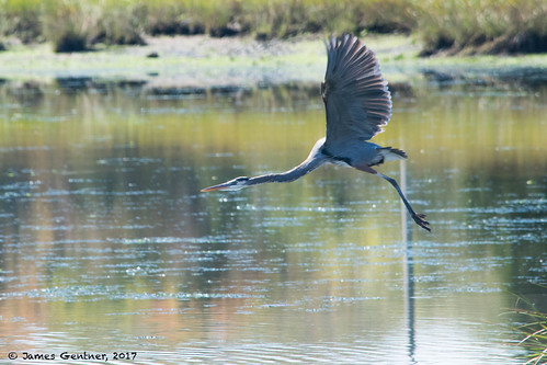 wickford rhodeisland usa heron birdsinflight wickfordri wickfordcove waterbirds
