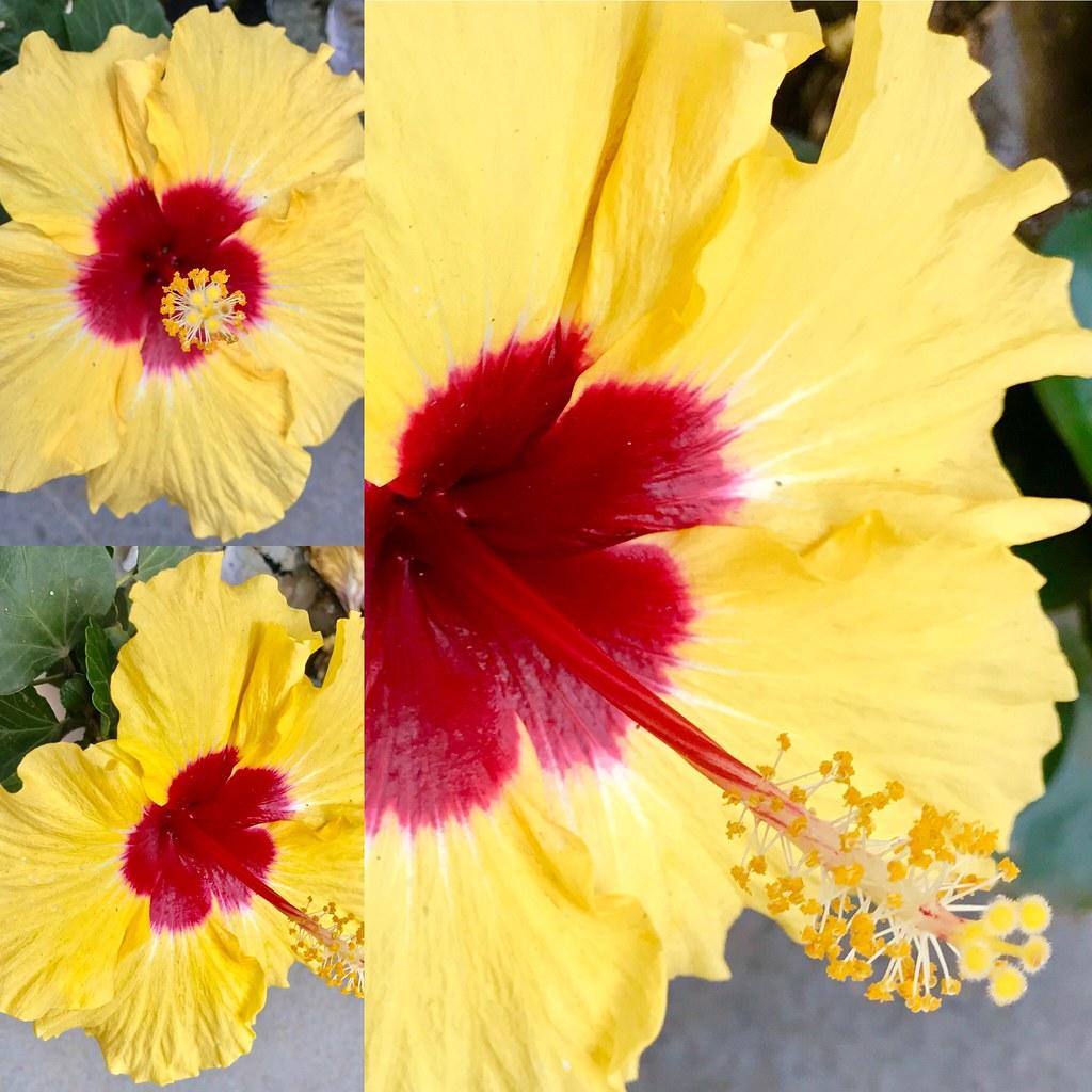 Hibiscus In Bangalore Chris 9 Flickr