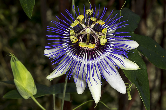 273/365  Passion Flower (Passiflora sp.) (Passifloraceae) (Malpighiales)