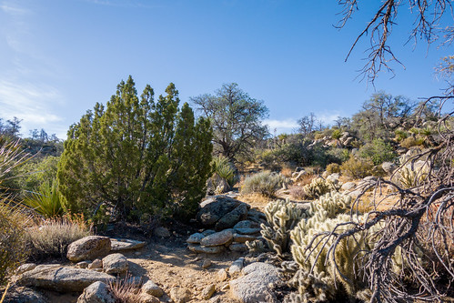 Pinyon and Juniper and Cholla | by danlmarmot