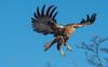 Aguila mora juvenil ... by jorgelópezmoreno