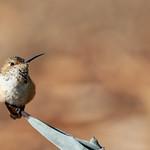 Hummingbird on Cactus