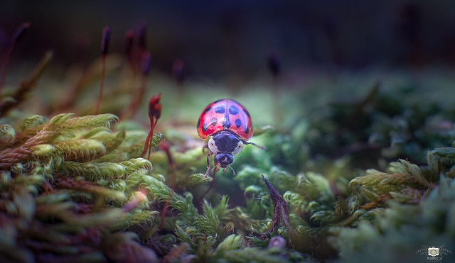 One of the  last ladybugs for this year