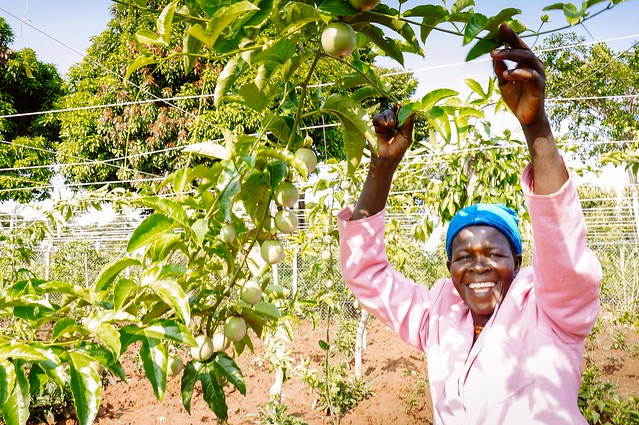 Uganda farmland sees a bountiful harvest of tomatoes, watermelons, bell peppers, eggplants, collard greens; 70 students at high school sitting for national exams