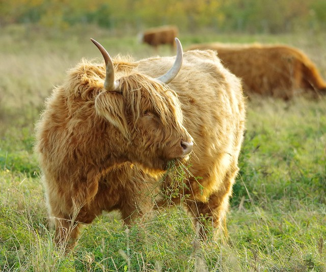 highland cattle (8)