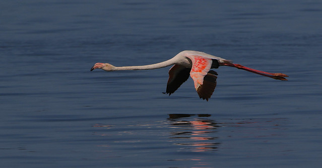 Flamingo / Flamenco / Greater Flamingo